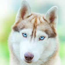 siberian husky wallpaper. Perfect Siberian Siberian Husky Wallpaper And