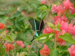 flickr photos tagged amritauniversity picssr butterfly on bougainvillea