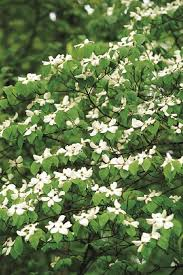 dogwood trees planting care and facts