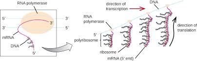 Protein Synthesis Translation Microbiology