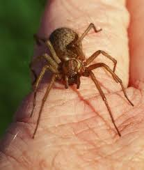 Biodiversity Of British Columbia Ask An Expert Brown Recluse