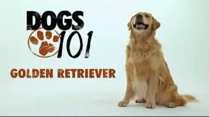 Golden Retriever Dogs 101 on Vimeo