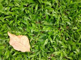 dry grass field background. Download Green Grass Field Background With A Dry Leaf. Stock Image - Of Empty D