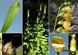 Digitalis laevigata Waldst. & Kit. subsp. laevigata - Sistema ...