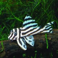 Cool Aquariums For Sale Rare Fish Available From Our Aquarium Store Amazing Amazon