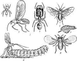 Реферат Перепончатокрылые ru Перепончатокрылые насекомые