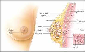 Fungsi, organ, reproduksi, wanita - xstafa
