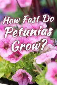 how fast do petunias grow garden tabs