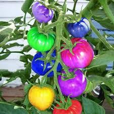 egrow <b>100pcs</b> rainbow tomato seeds <b>colorful</b> bonsai organic ...