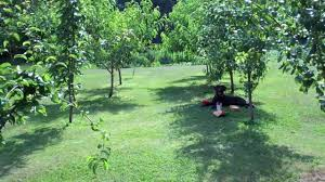 Care Of Plum Tree U2013 Tips On How To Grow A Plum TreePlum Tree Not Producing Fruit