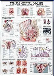 Female Anatomy Chart Female Genital Organs Anatomy Chart