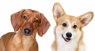 dorgi corgi dachshund mix