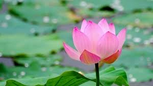 high definition flower wallpapers 1080p. Delighful Wallpapers 77 1920x1080 80859 Roses Red Drops  Preview Wallpaper Lotus Leaf  Flower Pond Water On High Definition Flower Wallpapers 1080p P