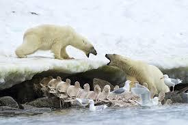 grolar bear size new habits of the polar bear how climate change changes behaviors