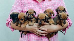 what is a toy dachshund