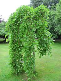 Mulberry Weeping  Pruning Winter Care And Fertilizing  Hawks Non Fruiting Mulberry Tree
