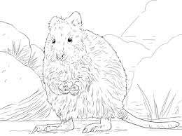 Small Picture Quokka Animal Coloring Pages 1 Credit nebulosabarcom