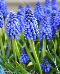 grape hyacinth bulbs. Simple Bulbs Muscari Armeniacum Grape Hyacinth Top Size Bulbs In Grape Hyacinth Bulbs R
