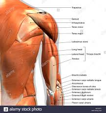 Labeled Anatomy Chart Of Male Triceps And Shoulder Muscles
