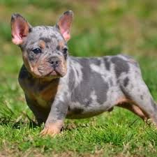 Ultimate Blue Pitbulls Pitbull Puppies For Sale American Bully