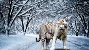 white tiger wallpaper desktop. Delighful Wallpaper Inside White Tiger Wallpaper Desktop E