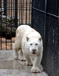 albino black panther. Plain Panther Amongst Other Animals The Drug Bosses Had Two Lions Black Panthers  And Tigers Including A Very Rare Albino Tiger Intended Albino Black Panther