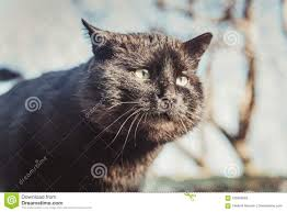 Bright Lights Big Kitty Poster Black Cat In The Bright Sun Gloomy And Angry Stock Photo