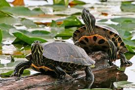 Red Eared Slider Facts Naturemapping