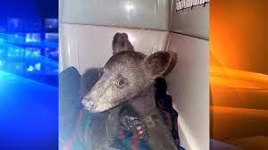 Bear cub burned in Tamarack Fire ...