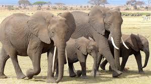 Image result for elephants obey the master