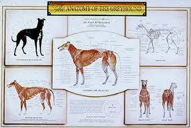 Anatomy Of A Greyhound Mentone
