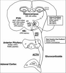 Stress And Hpa Axis
