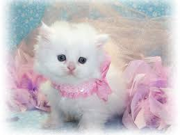 beautiful white cats wallpaper. Perfect Wallpaper Cute White Cat Wallpaper For Desktop High Resolution Of Androids To Beautiful Cats Pinterest