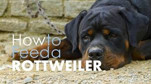 rottweiler dog puppy. best dog food for rottweilers: pros \u0026 cons of the options | herepup! rottweiler puppy