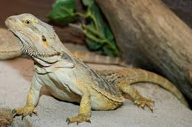 information about baby bearded dragons