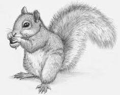 Small Picture American Red Squirrel Pencil Sketch Images I want to color