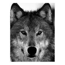 wolf face black and white. Plain Black Black U0026 White Wolf Artwork Postcard On Face And P