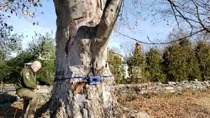 Consulting Tree Risk Assessment Green Valley Tree Inc