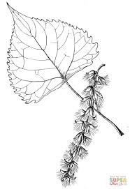 Small Picture Cottonwood Tree Leaf coloring page Free Printable Coloring Pages
