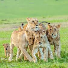 lioness and 4 cubs. Wonderful Lioness A Lioness With Her 4 Growing Cubs The Little Belongs To Another Lioness And Cubs