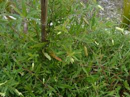 Aust Native Billardiera Scandens Apple Berry Is An Edible Native