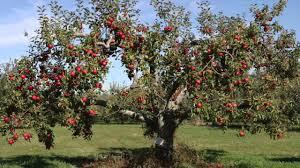 Fruit Tree U2013 John IkerdcomFull Size Fruit Trees For Sale