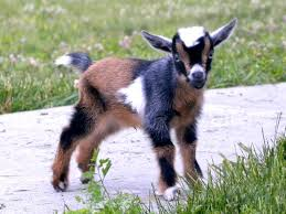 Dairy Goat Breeds 5 Best Dairy Goat Breeds For The Small Farm American
