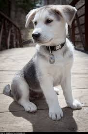 husky lab mix puppy. Contemporary Lab Gorgeous Golden Retriever Husky Mix Puppies Mix Lab Mix Puppy  White Throughout Puppy 0