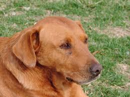 免费照片: 狩猎狗, 狗, 宠物, 狗, 犬, 可爱, 动物, 国内