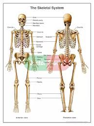 What Is The Difference Between Anterior And Posterior Part