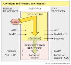 lactic acid fermentation equation. so pyruvate is a crossroads: if no oxygen, then you are e. coli or humans, carry out lactic acid fermentation. fermentation equation