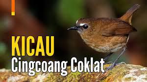 Download masteran decu kembang mp3 music file. Decu Kembang Perbedaan Jantan Dan Betina Decu Kembang Karakteristik Decu Kembang Mp3 Mp4