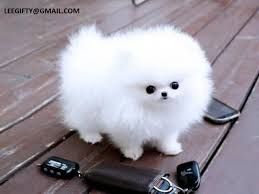 charming teacup pomeranian puppies for adoption 909 296 7704