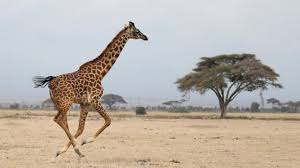 picture of a giraffe. Fine Picture Giraffe With Picture Of A